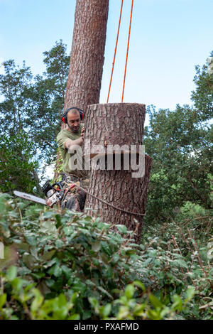 Professional lumberjack into action near a house. The felling of high pine trees necessitates the cutting down of their boles from the top downwards. - Stock Photo