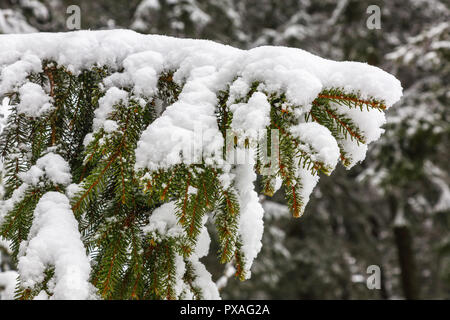 Snowy Spruce branches in the woods - Stock Photo