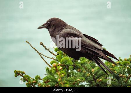 American western crow, Corvus brachyrhynchos, perched on tree, Pacific Northwest Coast, Oregon, USA. - Stock Photo