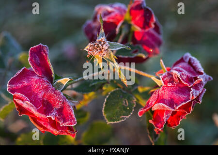 Winter in the garden. The first frosts and frozen rose flowers. - Stock Photo
