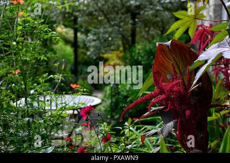 amaranthus caudatus,love lies bleeding,patio,garden,flower,bloom,blossom,red,inflorescence,RM Floral - Stock Photo