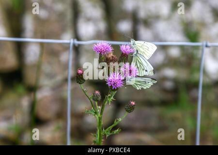 Three green-veined white (Pieris napi) butterflies on a Common Thistle (Cirsium vulgare), Derbyshire, England, UK - Stock Photo