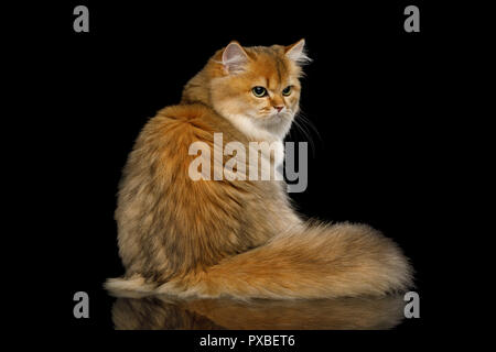 British Cat Red color with Furry tail Sitting and Looks offended on Isolated Black Background - Stock Photo