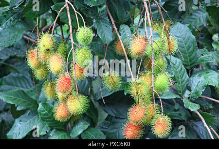 Close up of ripening spiky red Rambutan fruit clusters growing in plant from Kerala, India. - Stock Photo