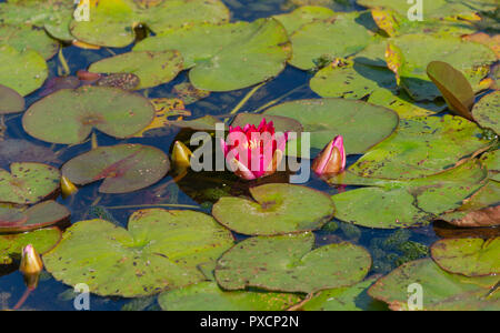 Pink water lillies in a garden pond UK - Stock Photo