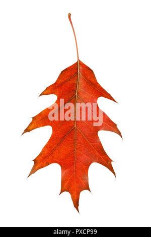 Red autumn maple leaf isolated on white background - Stock Photo