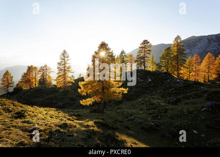 Golden light at larches on Krstenica meadow, Julian alps, Slovenia - Stock Photo