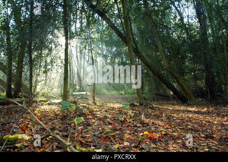 Morning sunlight shining through woodland trees onto leafy path - Stock Photo