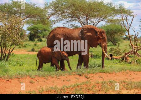 African elephants on the masai mara kenya africa