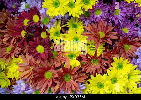 The daisybushes or African daisies. Osteospermum  is a genus of flowering plants belonging to the Calenduleae family Asteraceae. - Stock Photo