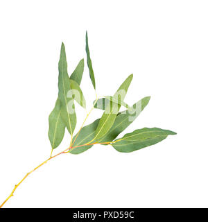 eucalyptus isolated on gray background with clipping path - Stock Photo