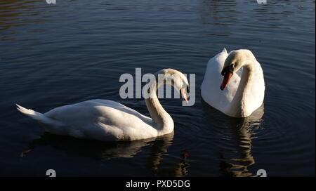 Swans in Conversation on River Soar - Stock Photo