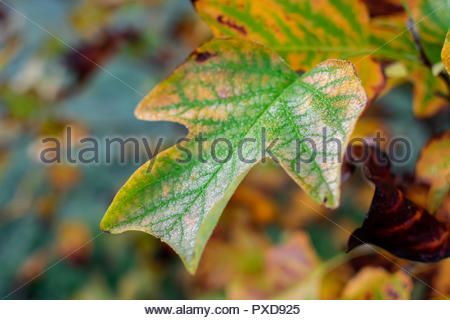 Tulip tree leaf under a thin layer of frost on a frosty october morning. - Stock Photo