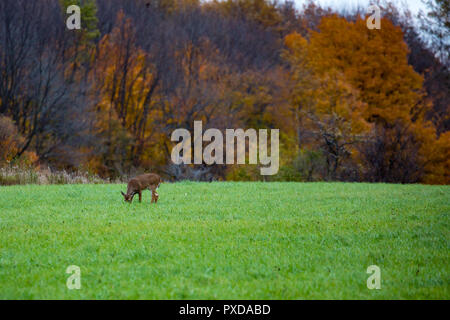 Young male white-tailed deer (odocoileus virginianus) feeding in October - Stock Photo