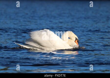A mute swan Cygnus olor swimming on a blue lake in a threatening posture. - Stock Photo