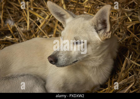 Puppy of dog in the mutton who rest in a comfortable and hot haystack. Looking in front of him, and peaceful and relaxed expression. - Stock Photo