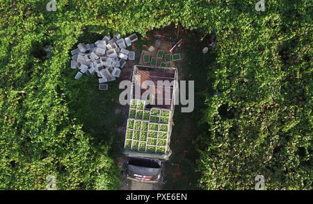 (181022) -- BEIJING, Oct. 22, 2018 (Xinhua) -- Aerial photo taken on July 30, 2018 shows a dealer loading grapes onto a truck at the Xindian eco-agricultural park in Xindian Town of Yuping Dong Autonomous County in southwest China's Guizhou Province. China's road freight transport continued fast expansion in the first nine months of 2018, the Ministry of Transport said in a statement Oct. 20, 2018. From January to September, the amount of cargo carried on roads, which takes up the lion's share in China's total cargo transport, increased 7.5 percent year on year to 28.64 billion tonnes. The gro - Stock Photo