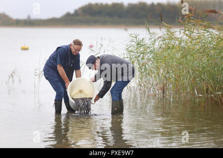 22 October 2018, Mecklenburg-Western Pomerania, Goldberg: Klaus-Dieter Dehmel (l), fishermen from Dabel and Wolfgang Geibrasch, fishermen from Lohmen and managers of the Goldberger See expose pre-stretched (fed) young eels in the Goldberger See. For 25 years, the 'Landesanglerverband MV' has occupied eels worth around 100,000 euros annually. The campaign 'Save the European Eel' should contribute to the conservation of eels in Mecklenburg-Vorpommern. Photo: Danny Gohlke/dpa-Zentralbild/dpa - Stock Photo