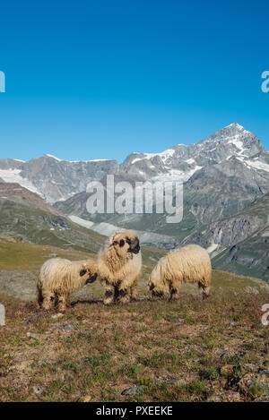 Image shows a herd of so-called Valais Blacknose Sheep in the high Alps, Wednesday 24 August 2016, Zermatt, Switzerland. - Stock Photo