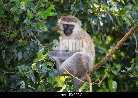 Vervet monkey in Queen Elizabeth National Park, Uganda - Stock Photo