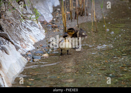 Two Ducklings at the Lake in Austria - Stock Photo
