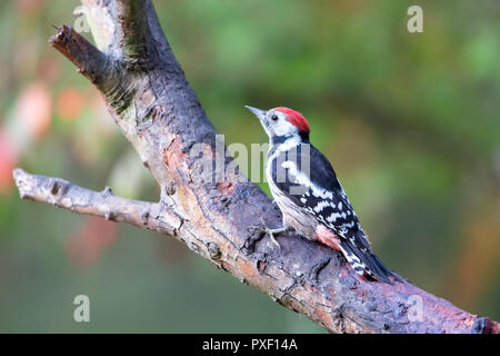 Middle Spotted Woodpecker (Dendrocoptes medius) in the nature protection area Moenchbruch near Frankfurt, Germany. - Stock Photo