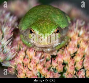 Cope's Gray Treefrog (Hyla chrysoscelis) waiting for a prey on flowers at night, Iowa, USA - Stock Photo