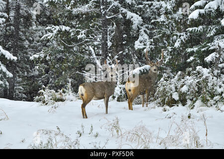Two mule deer bucks 'Odocoileus hemionus', standing on the edge of thier forest habitat in the winters first snow in rural Alberta Canada. - Stock Photo