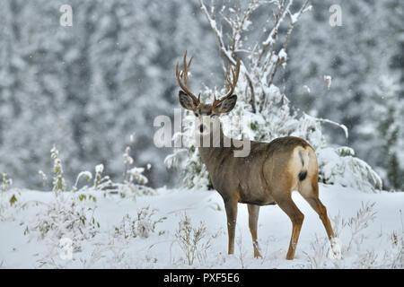 A mature male mule deer 'Odocoileus hemionus'; standing looking back in the freshly falling snow in rural Alberta Canada. - Stock Photo
