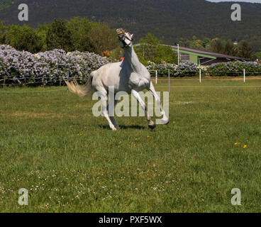 white gray horse running trot on the green field - Stock Photo