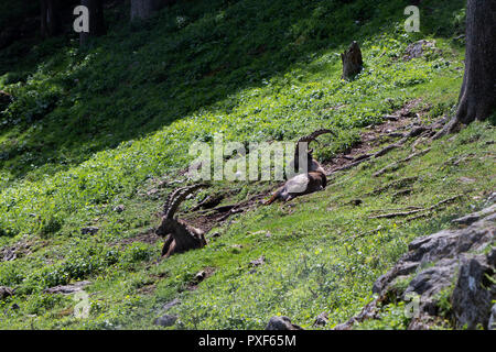 adult natural male alpine ibex capricorn standing in green meadow, sunshine, shadow - Stock Photo