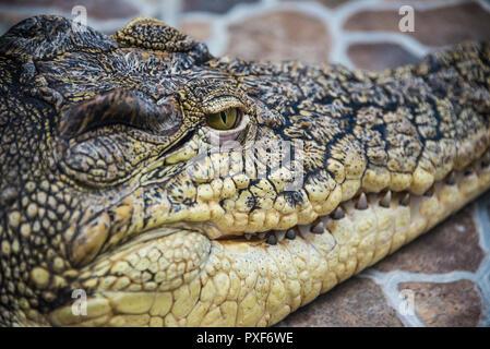 Crocodile head close-up of eyes and teeth. - Stock Photo