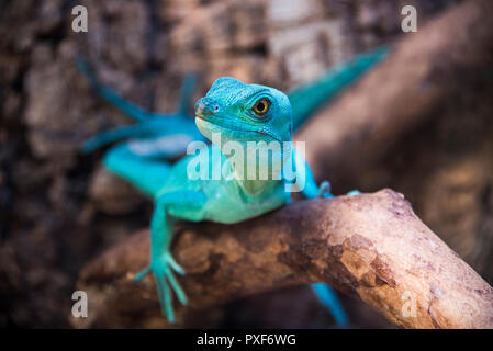 Green basilisk lizard in zoological garden close-up on a branch - Stock Photo