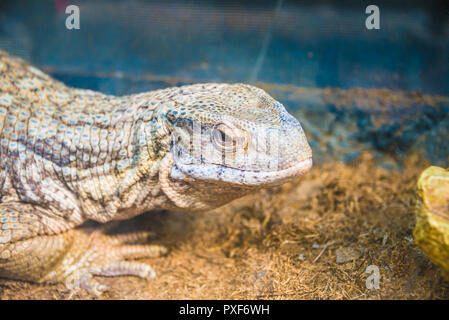 varan close-up lies in the zoo. - Stock Photo