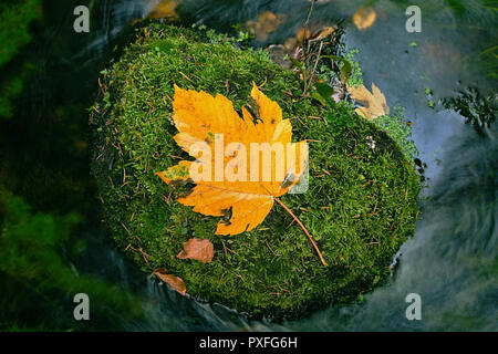 Autumn river. Death yellow maple leaf on mossy stone in cold water of mountain river, first autumn leaves - Stock Photo