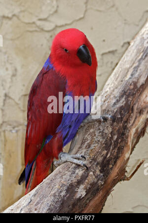 Eclectus Parrot (eclectus roratus) female - Stock Photo