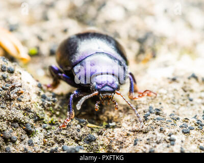 Chrysolina Coerulans Blue Mint Leaf Beetle Insect Macro - Stock Photo