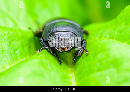 Dark Beetle Insect on Green Leaf Background - Stock Photo