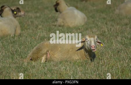 Schafe auf der Weide - Sheeps on the green - Stock Photo
