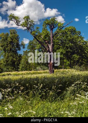 In the middle of a blooming field stands a lonely dry tree against a blue sky and forest in the summer in sunny weather. - Stock Photo