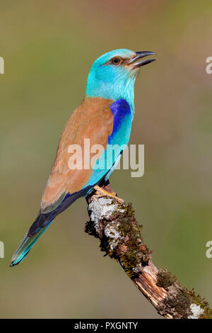 European Roller (Coracias garrulus), side view of an adult perched on a branch - Stock Photo