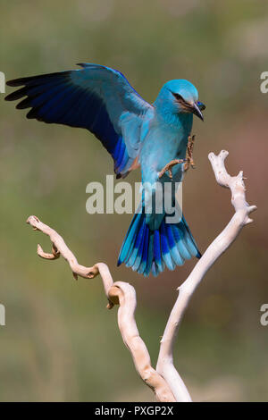 European Roller (Coracias garrulus), adult landing on a branch - Stock Photo