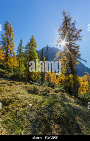 sun behind natural golden spruces in autumn in alpine mountains, blue sky - Stock Photo