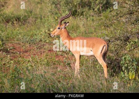 Impala Ram Aepyceros melampus in scrubland in South Africa - Stock Photo