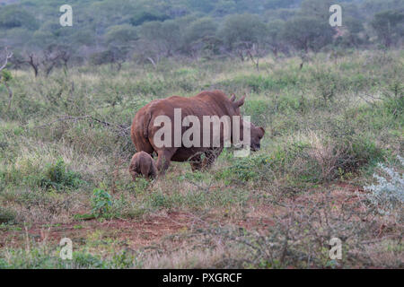 White Rhinoceros Ceratotherium simum with baby calf following in South African scrub on Zimanga Private Game Reserve - Stock Photo