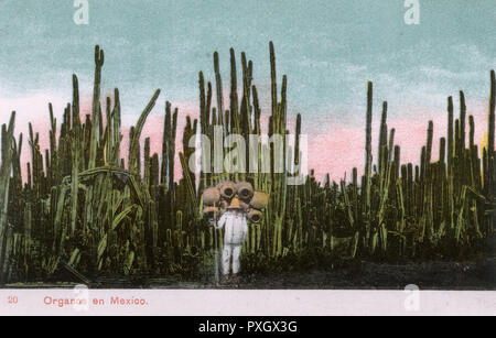 Impressive Tall Mexican Fence Post Cactus Grove (Pachycereus Marginatus) and a pot seller (carrying his wares on his back) - Mexico.     Date: 1910s - Stock Photo