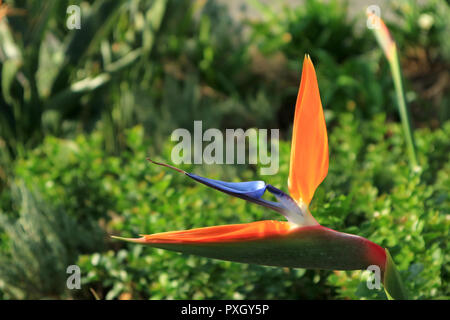 Closed Up Vivid Orange and Blue Bird of Paradise Flower with Vibrant Green Foliage in Background - Stock Photo