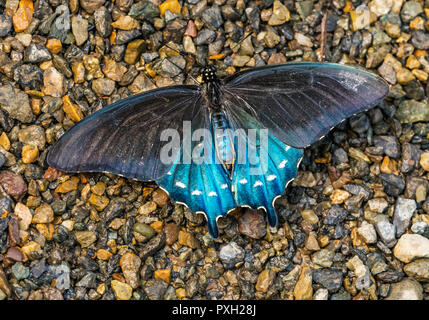 Blue Black Pipevine Swallowtai Butterfly Battus philenor Seattle Washington - Stock Photo
