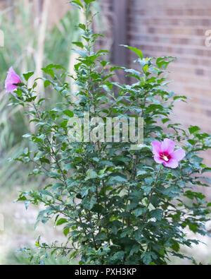 Rose of Sharon shrub, Althea, Hibiscus syriacus. Pink flower. Kansas, USA - Stock Photo