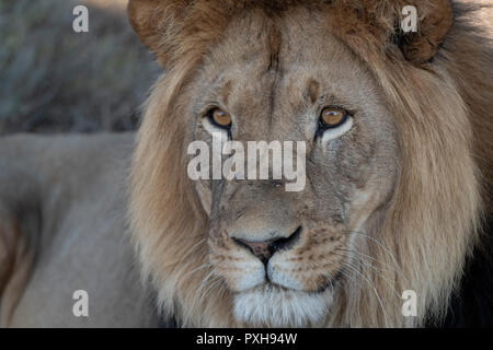 Close up of Sylvester the lion - game vehicle reflected in his eye - Stock Photo